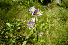 Another Mountain Flower Shot